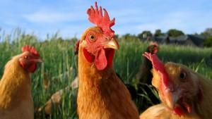 Tavuk-Merakı